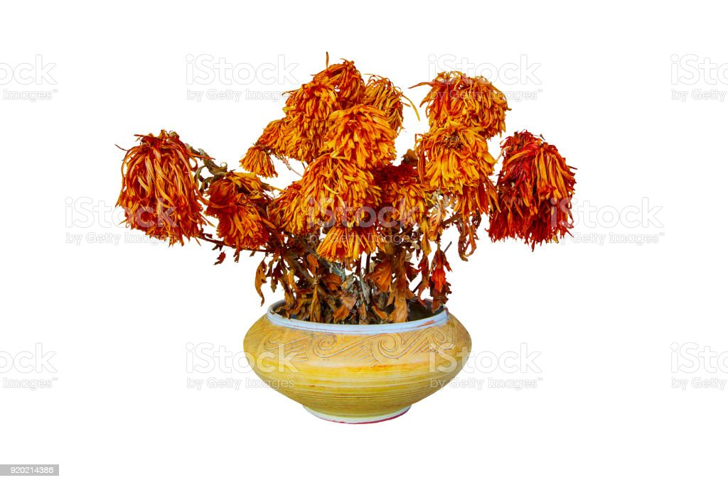 withered dried flowers in a vase isolated on white background