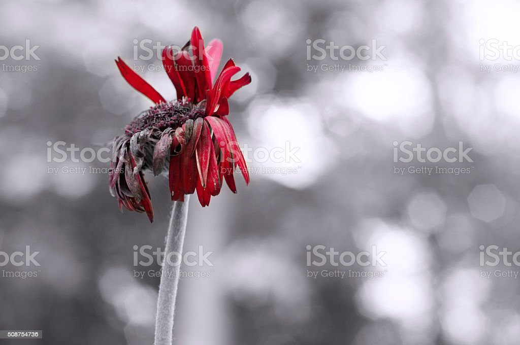 Withered flower stock photo