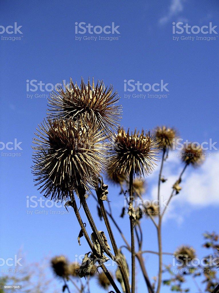 Withered Blume in einem strahlend blauen Himmel – Foto
