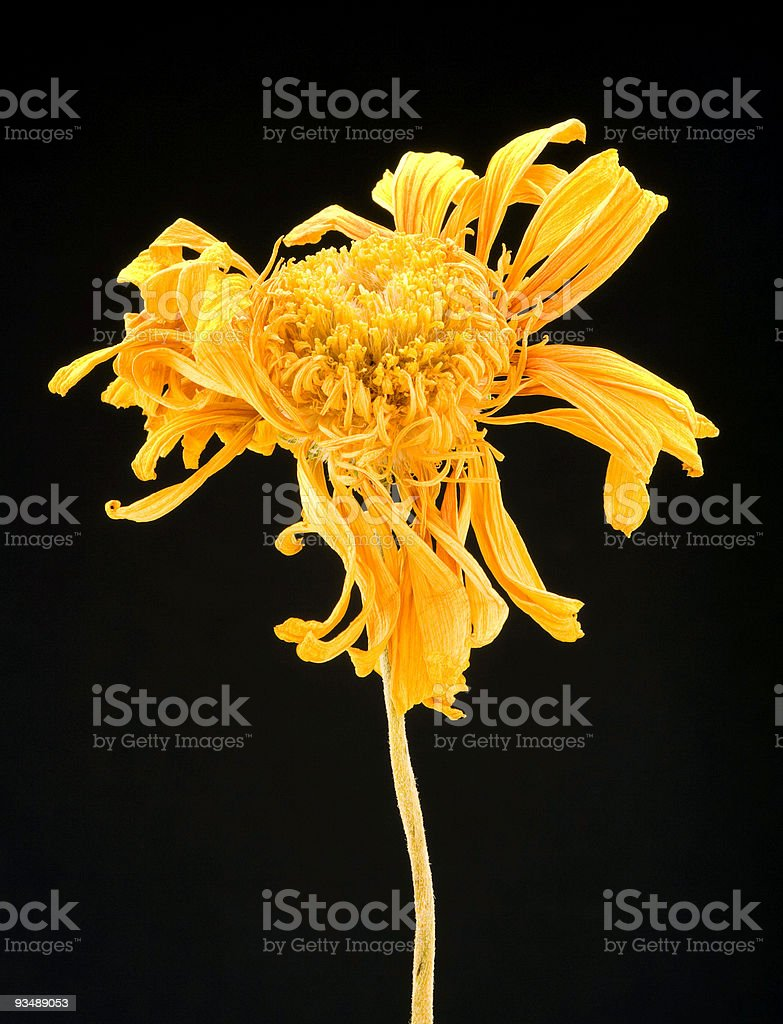 Withered Gerbera Daisy flower royalty-free stock photo