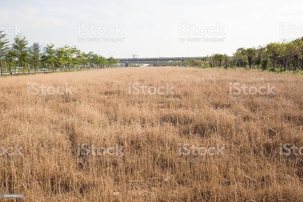 withered grass in wild field stock photo