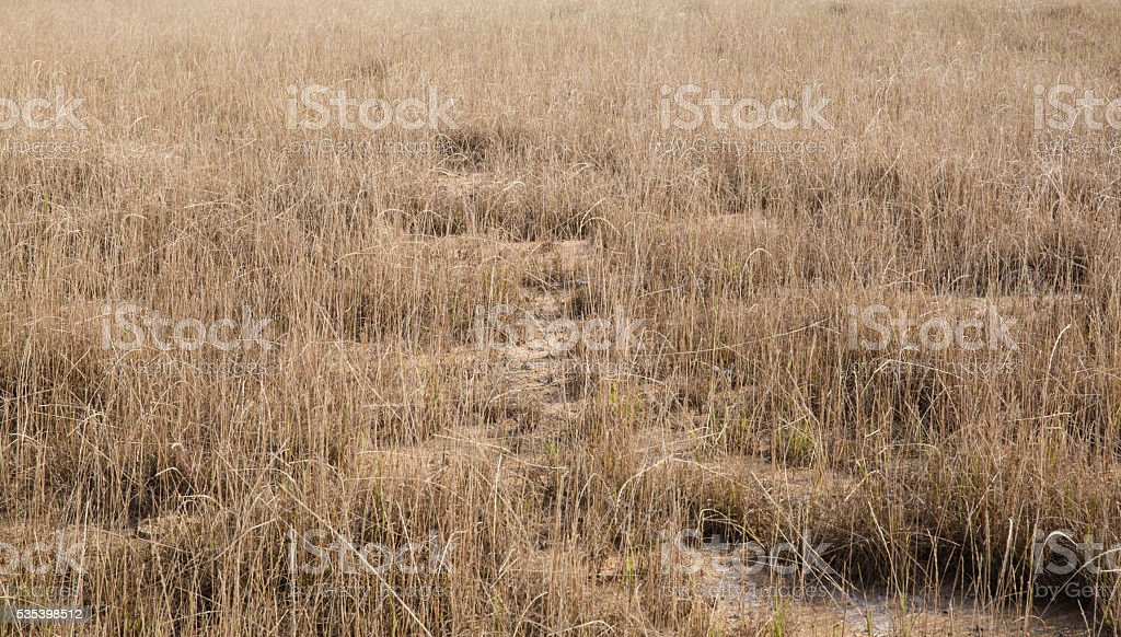 withered grasses in wild land stock photo