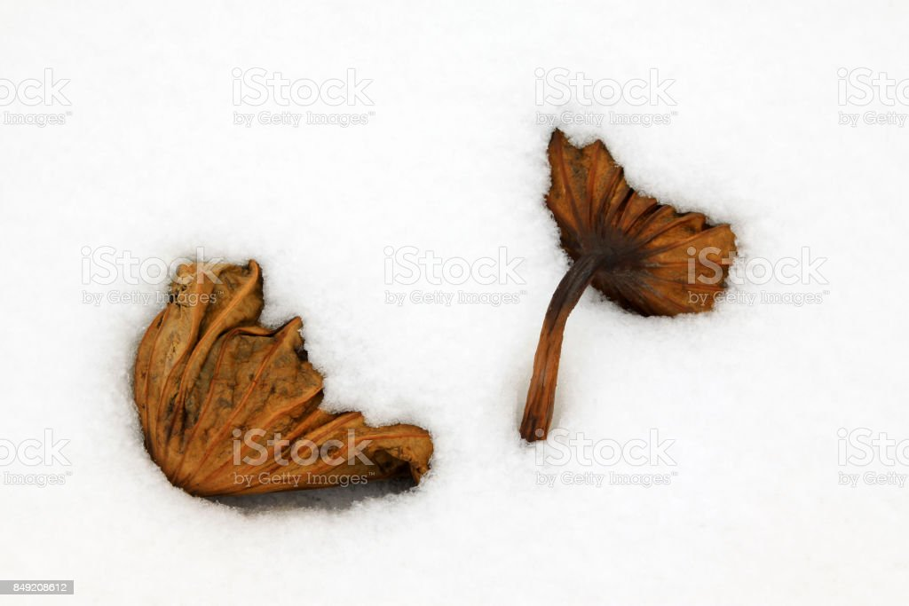 withered lotus stalk in the snow, in winter stock photo