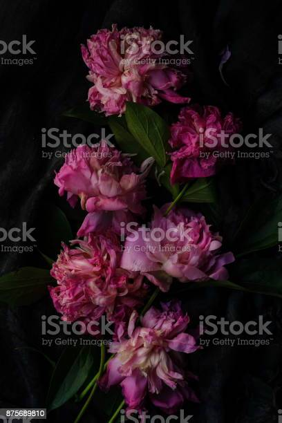 Withered pink peonies on a dark background picture id875689810?b=1&k=6&m=875689810&s=612x612&h=q0uo7foh4tapgcjjvellkj17rmbnphowxyxtlhaod3w=