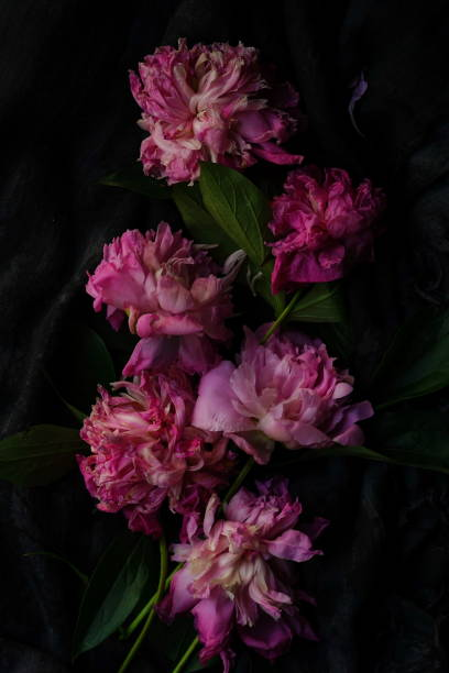 Withered pink peonies on a dark background picture id875689810?b=1&k=6&m=875689810&s=612x612&w=0&h=g3ffpyn cuxwjtxop2mvppc8dv oevorwnze81zqvkw=