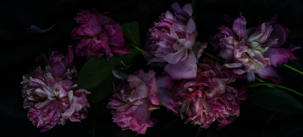 Withered pink peonies on a dark background picture id875689840?b=1&k=6&m=875689840&s=612x612&w=0&h=i 3 8p80gz7erprpmhjj 3ojgf8kb2somfnzqqnf9zy=