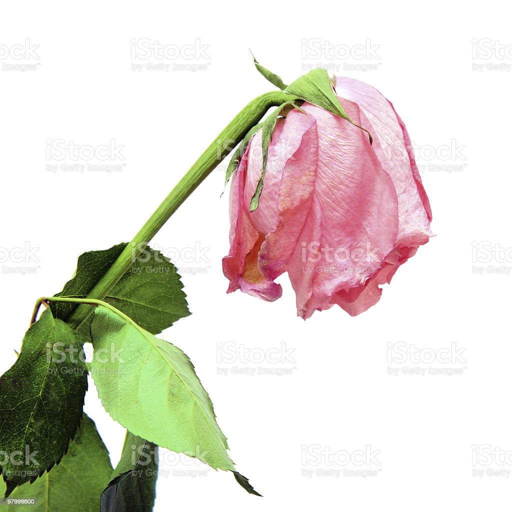 Withered pink rose royalty-free stock photo