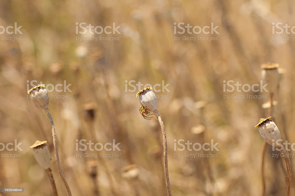 Withered poppy flowers and spider royalty-free stock photo
