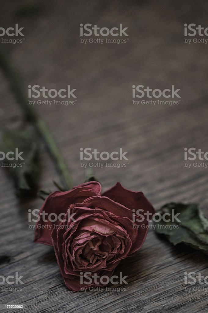 withered red rose. stock photo