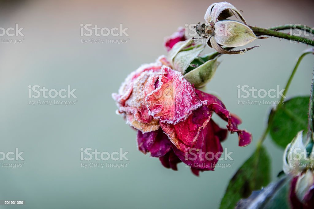 Withered rose covered with frost stock photo