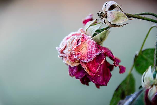 withered rose coberta com gelo - planta morta imagens e fotografias de stock