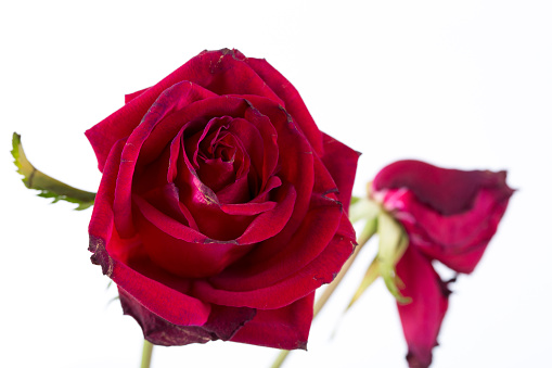 Withered rose isolated over white background.
