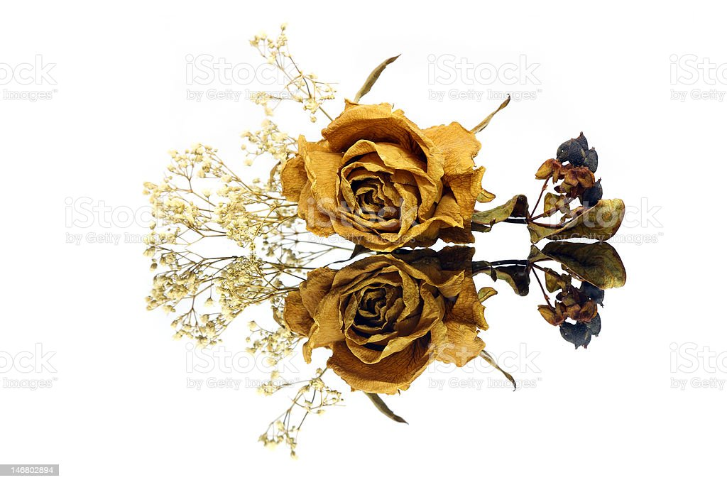 Withered Rose royalty-free stock photo