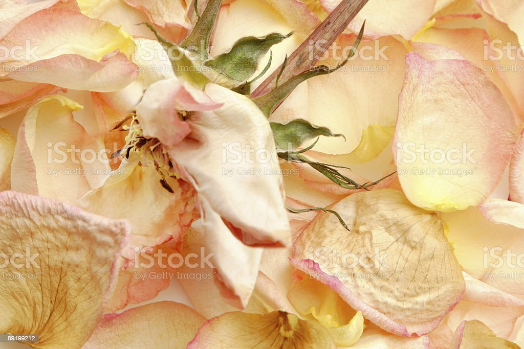 Withered rose royalty free stockfoto