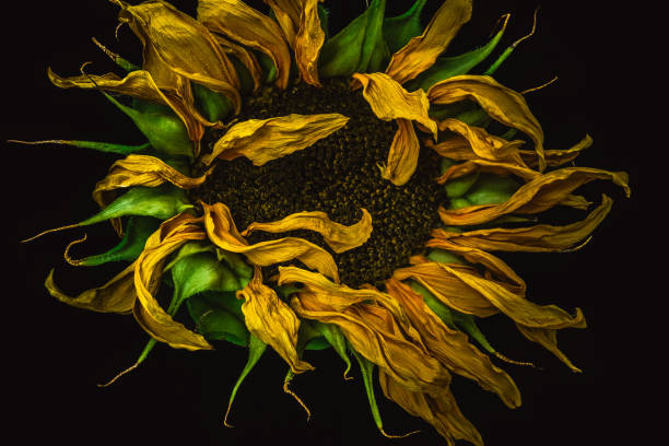 withered sunflower on a black background - dead plant stock photos and pictures