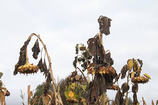 withered girassol - planta morta imagens e fotografias de stock