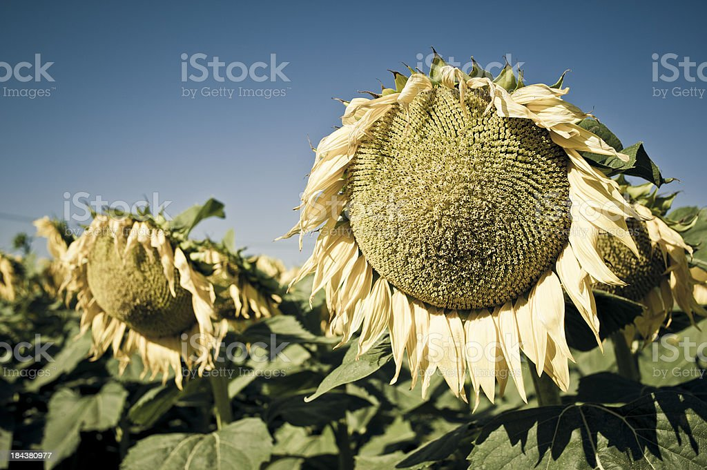 Withered Sunflowers Close Up In The Autumn Beginning royalty-free stock photo