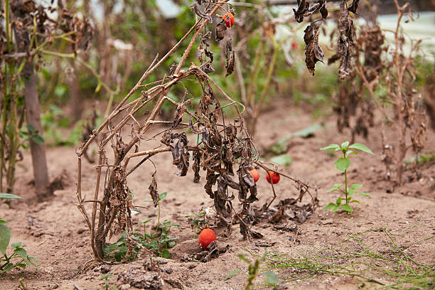 Withered tomato plant stock photo