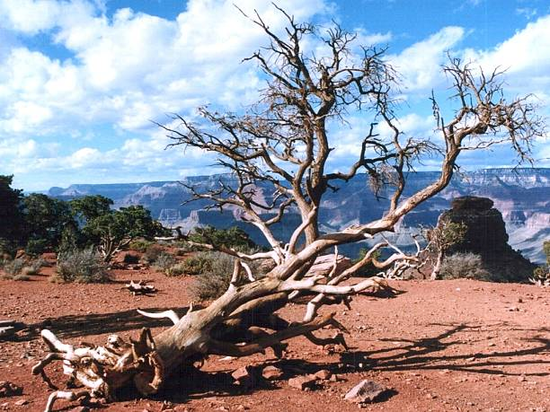Withered Baum im Grand Canyon – Foto