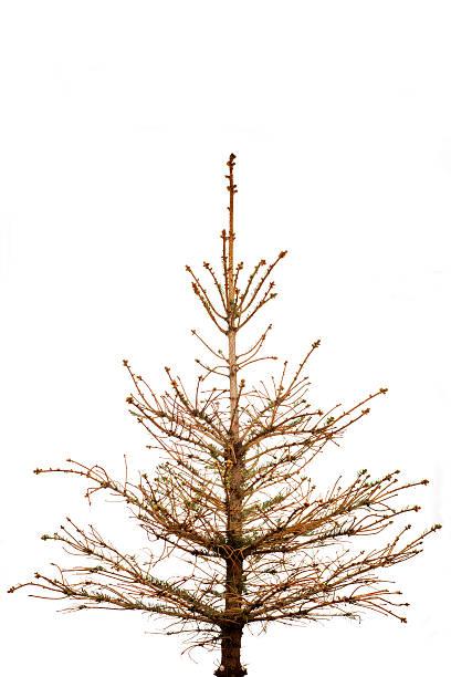 xxxl withered tree - alte weihnachtsbäume stock-fotos und bilder