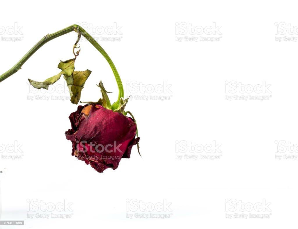Resultado de imagen para mis rosas se estan marchitando