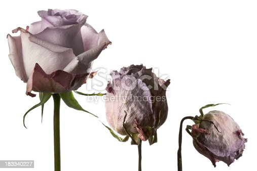 A Lilac Rose withering (dying) process.