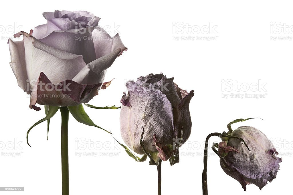 Withering Rose stock photo