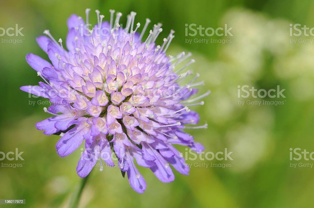 Witwenblume (Knautia arvensis) - Field Scabious stock photo