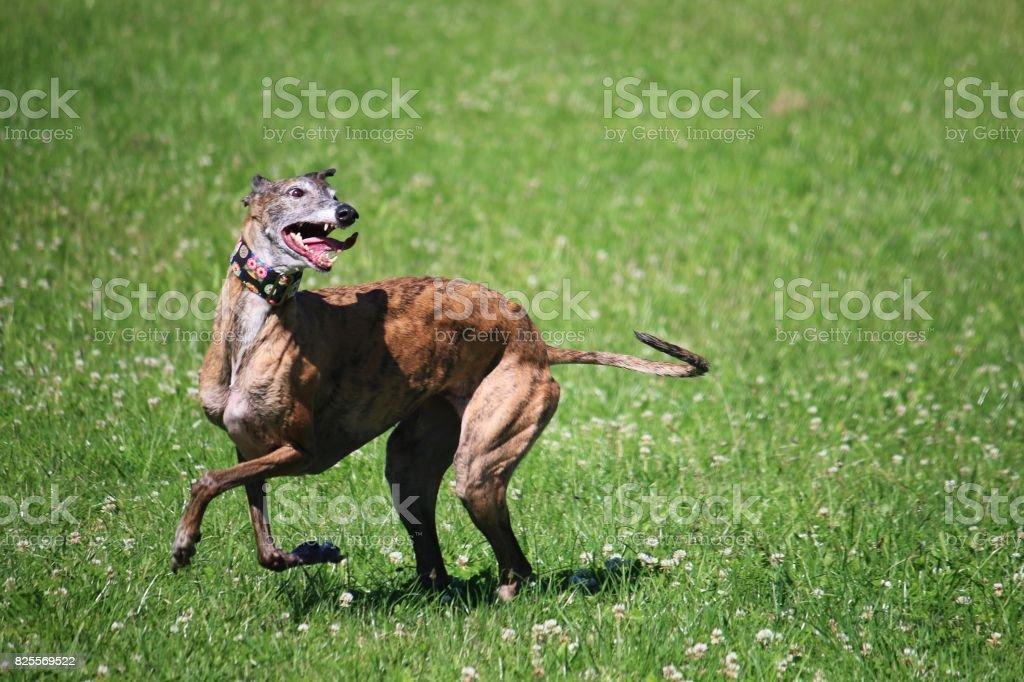 witziger Windhund stock photo