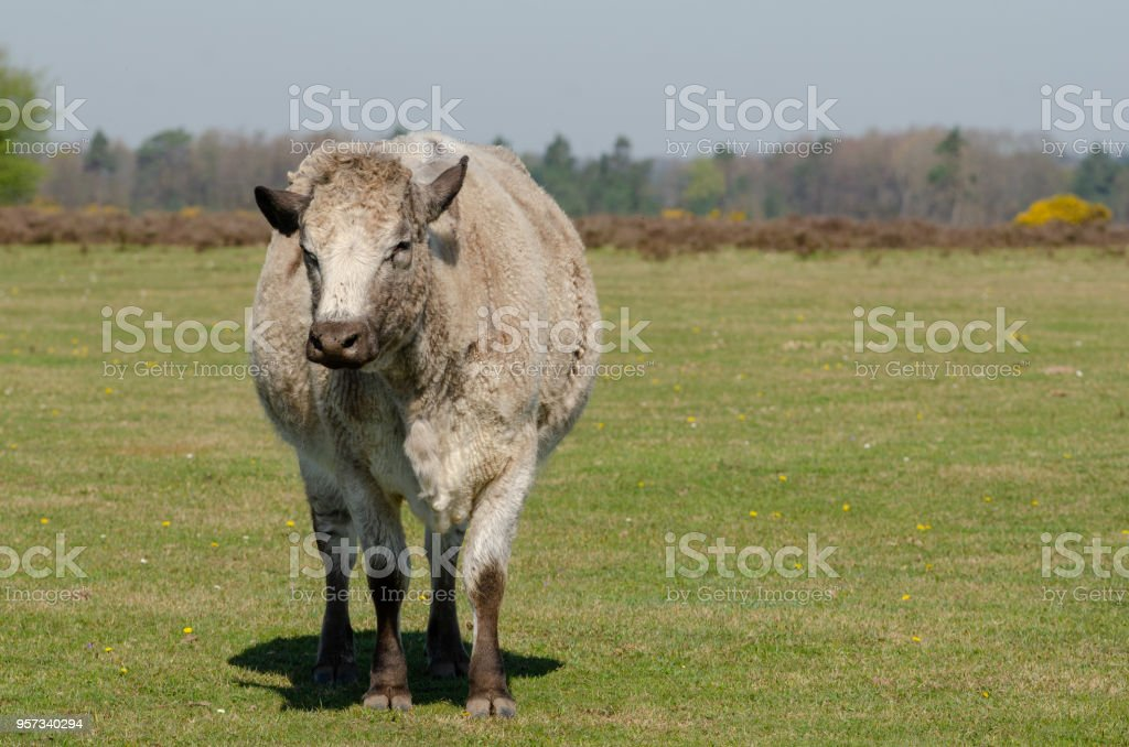 Wliverley Cow royalty-free stock photo