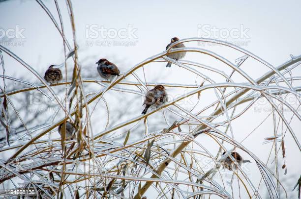 Photo of Wnter wonderland: Sparrows sitting on a tree branches covered with ice and snow after the ice rain