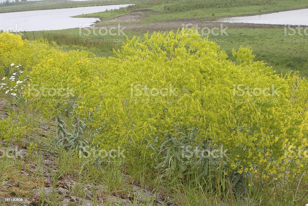 Woad (Isatis tinctoria) royalty-free stock photo