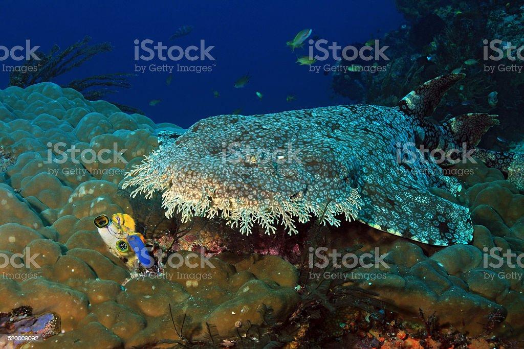 Wobbegong on Coral Reef bildbanksfoto