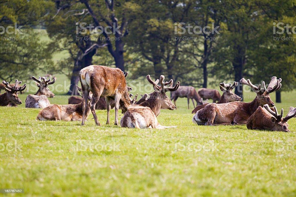 Woburn Red Deer royalty-free stock photo