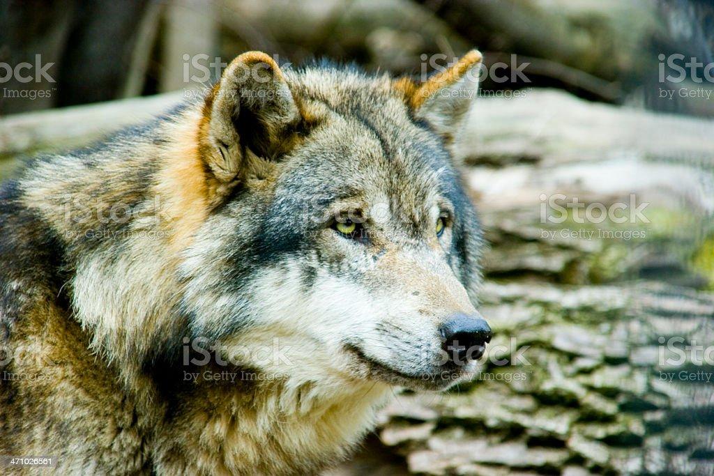 Wolf 2 stock photo