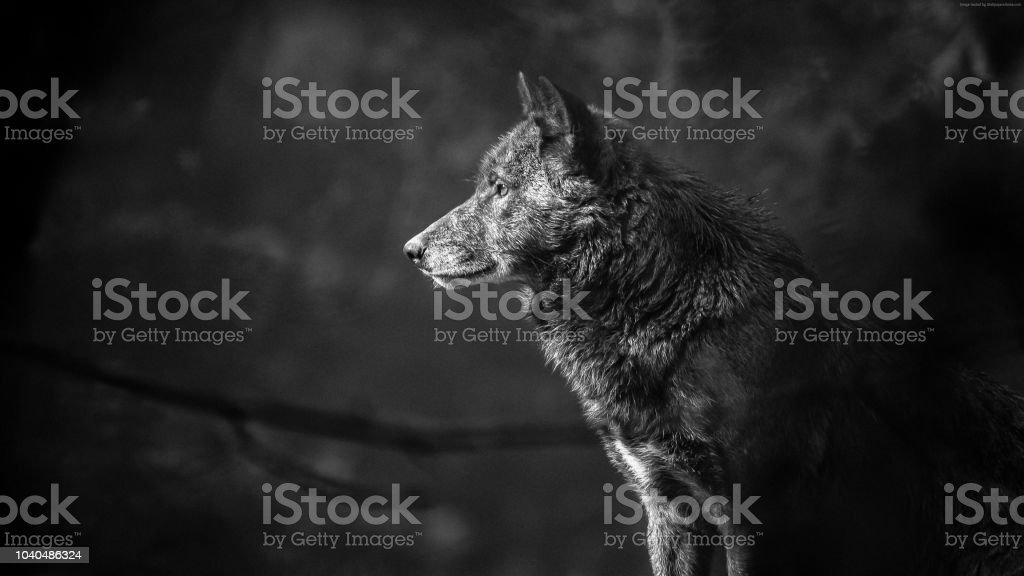 Wolf 4K HD Hammad Contributor stock photo