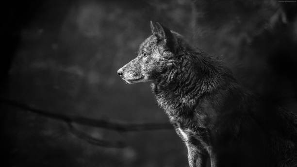 wolf 4k hd hammad contributor - contributor stock pictures, royalty-free photos & images
