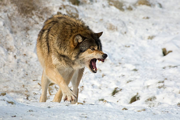 Lobo Agression - foto de stock