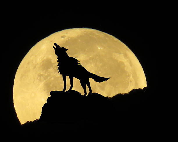 Wolf and Full Moon stock photo