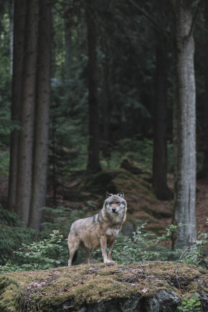 Wolf at Bayerischer Wald national park, Germany stock photo