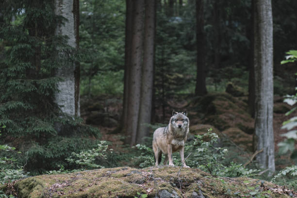wolf at bayerischer wald national park, germany - lupo foto e immagini stock