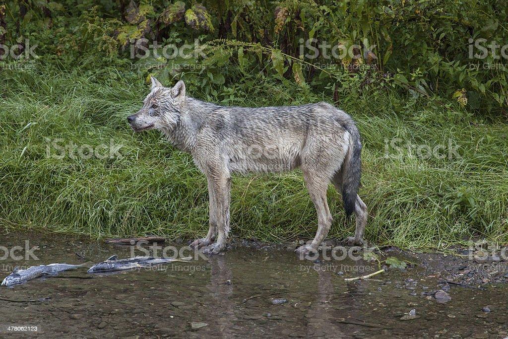 Wolf at Fish Creek stock photo