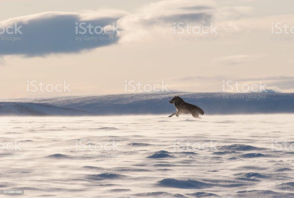Wolf bounding through the snow stock photo