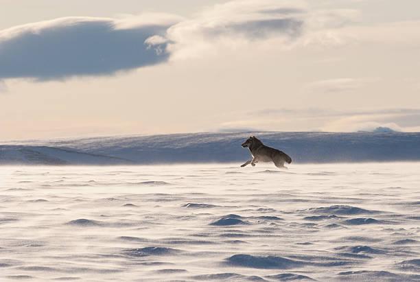 オオカミの境界の雪 - ツンドラ ストックフォトと画像