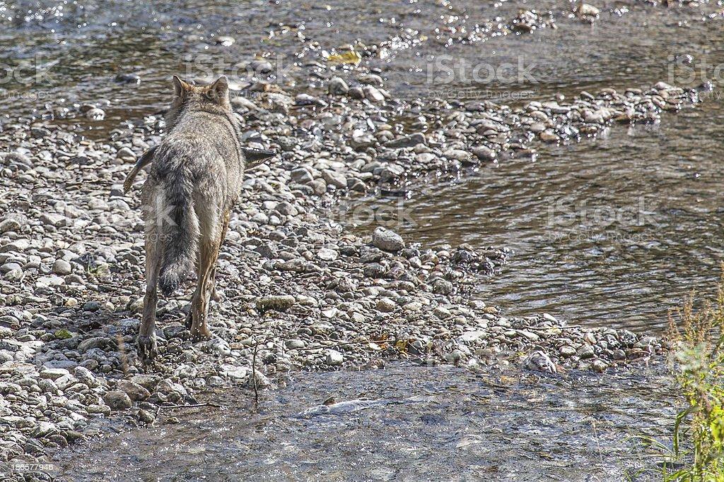 Wolf carrying fish sideways stock photo