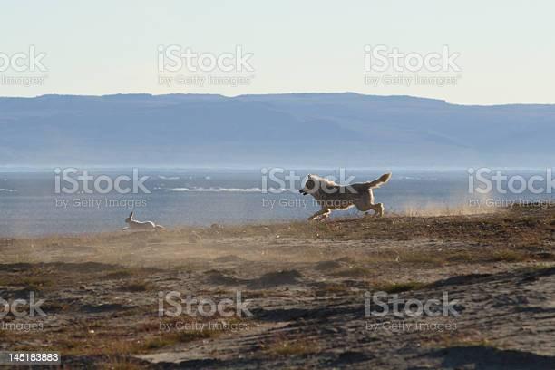 Wolf chases hare picture id145183883?b=1&k=6&m=145183883&s=612x612&h=c3r4a4xo23oibpn 46f8ywwish2sakupfmudef6rnjy=