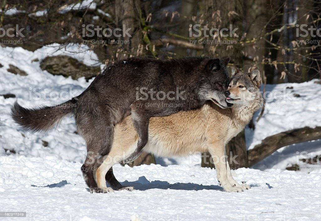 Royalty Free Wolves Mating Pictures, Images and Stock ...