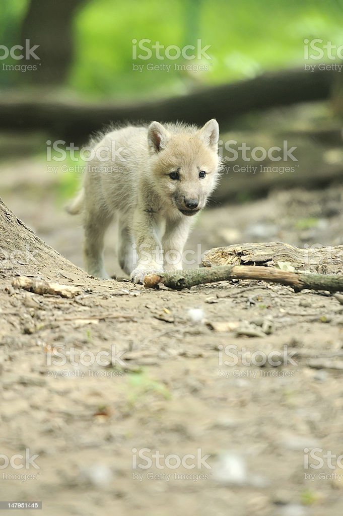 Wolf cub in forest stock photo