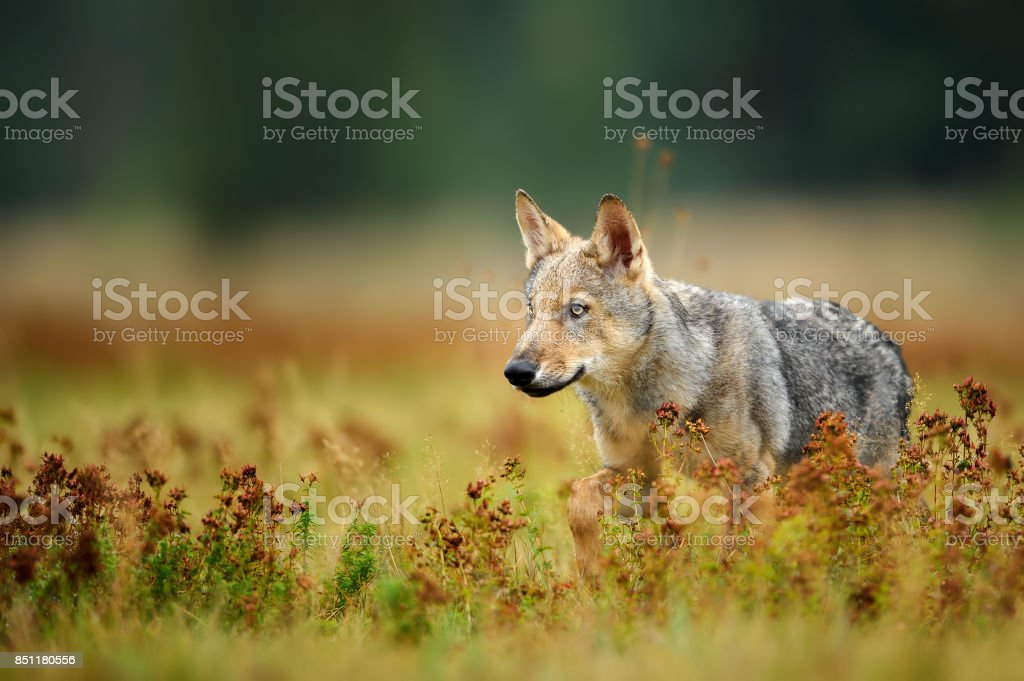 Wolf cub staring in colorful grass stock photo