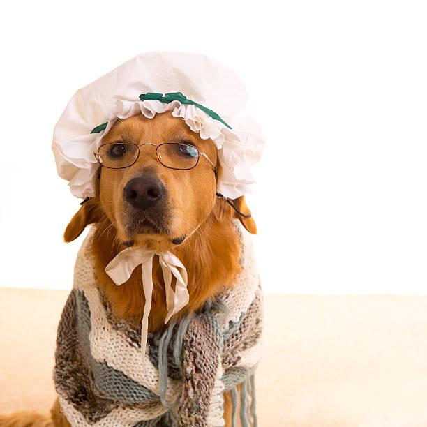 wolf-hund angezogen wie oma golden retriever - rotkäppchen kostüm stock-fotos und bilder